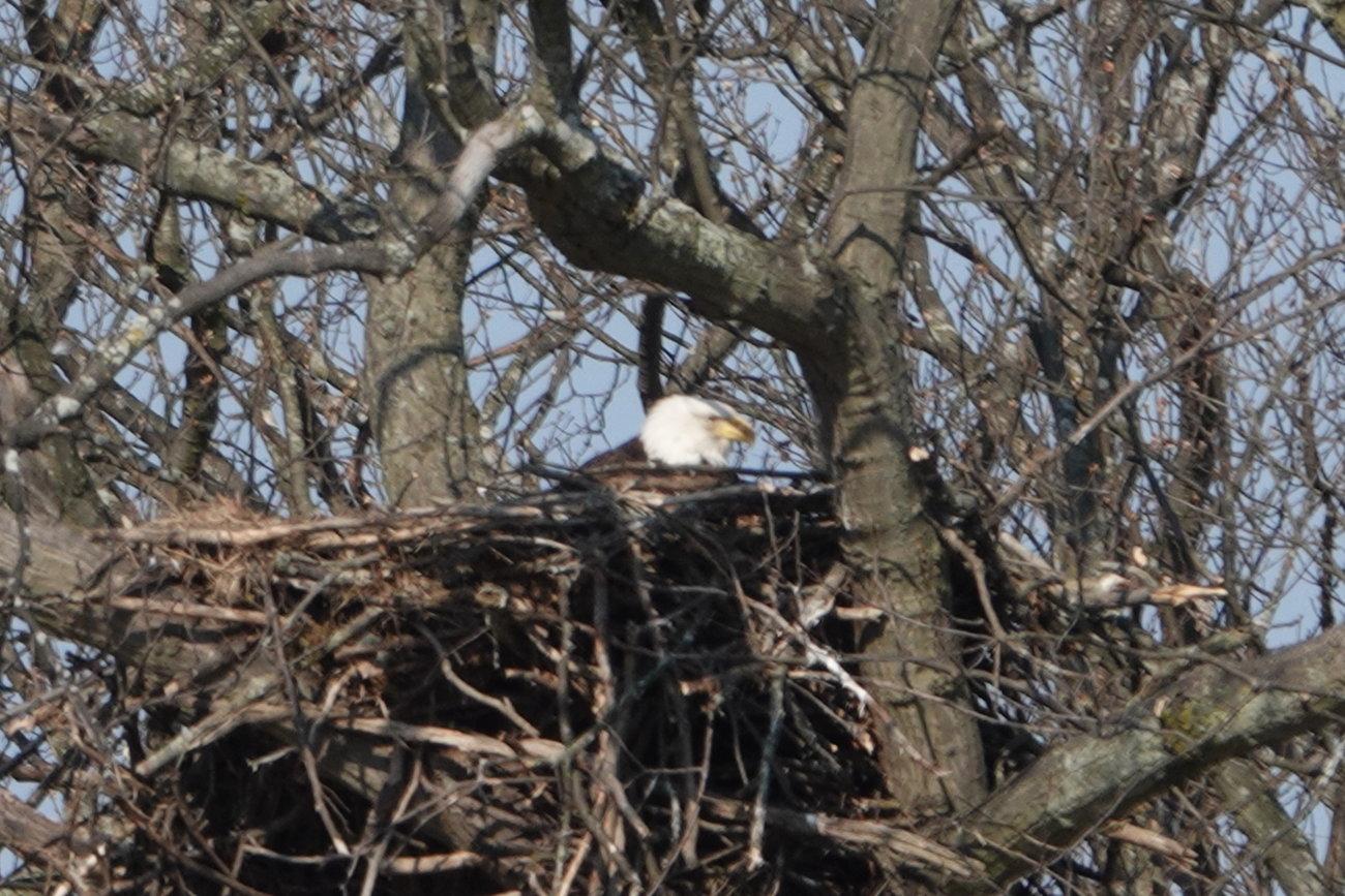 RX10 Peebles Island eagles 019.JPG