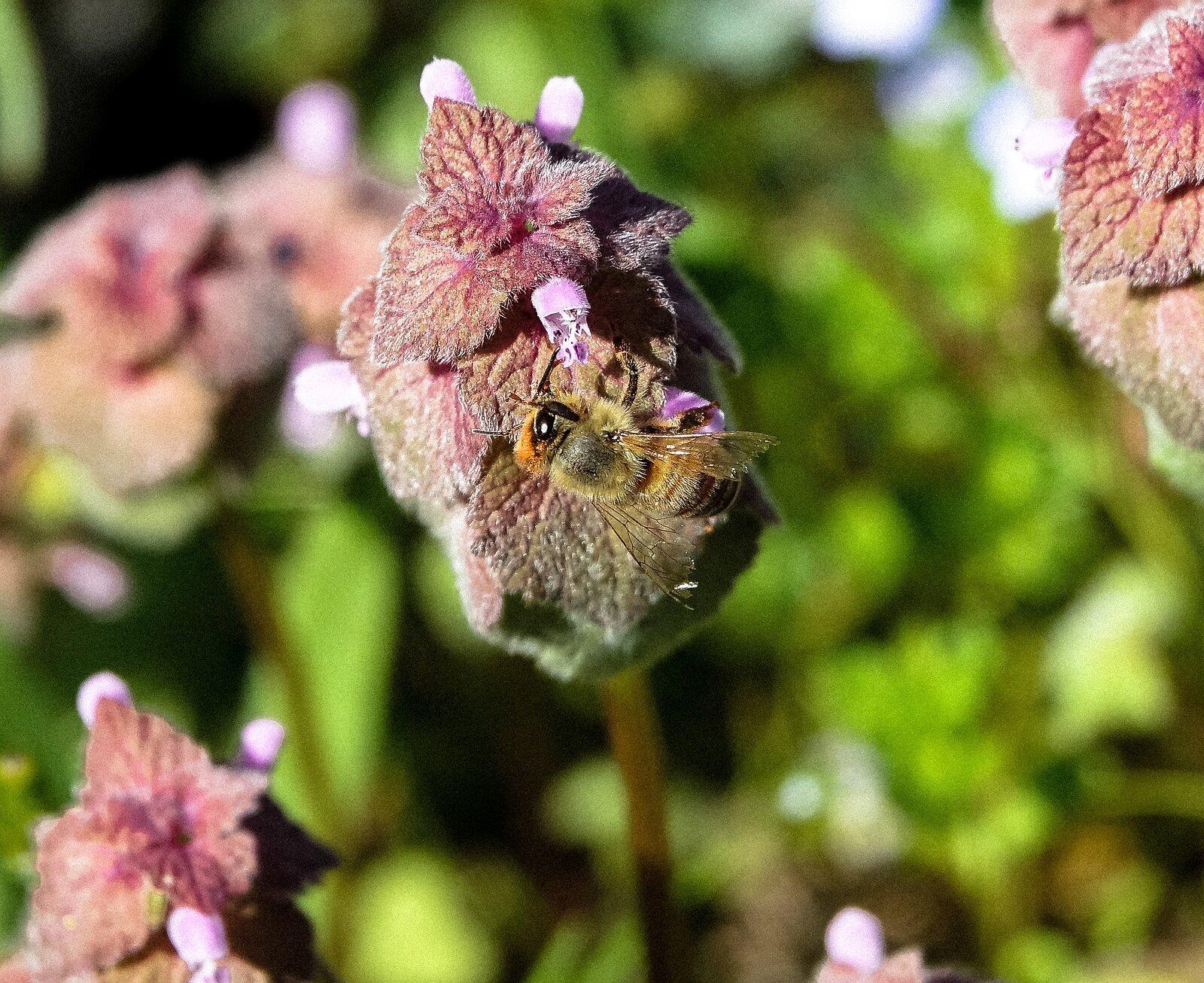 RX10_Apr10_21_red-headed_bee#1.jpg