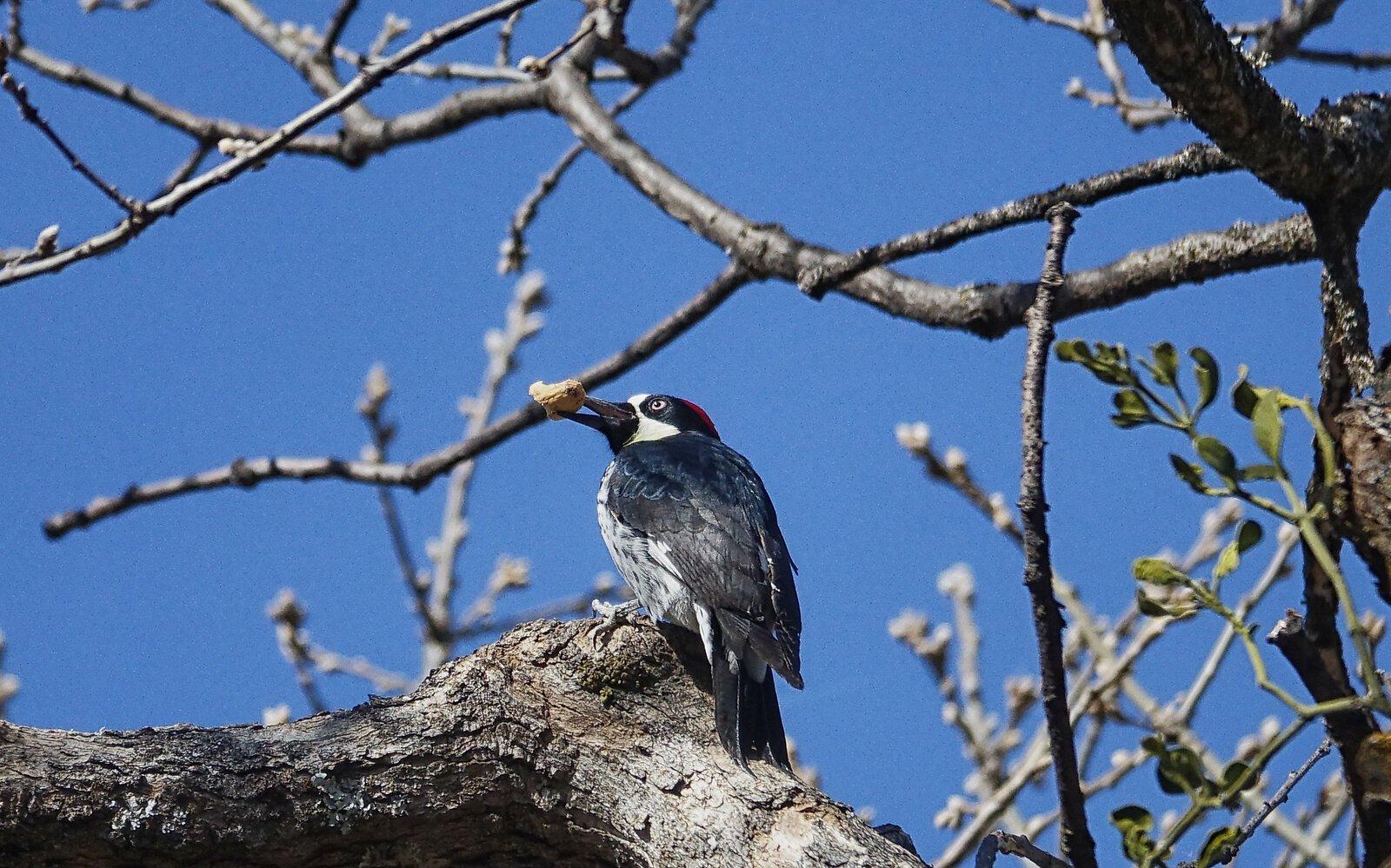RX10_Apr1_21_acorn_woodpecker#1.jpg