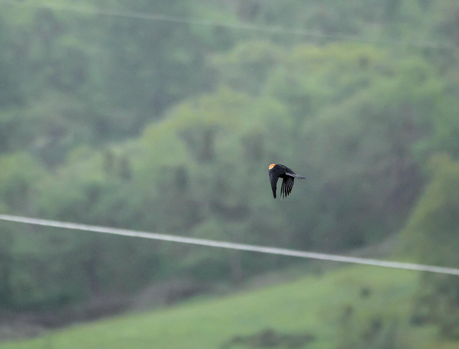 RX10_Apr24_21_blackbird_flying#2.jpg