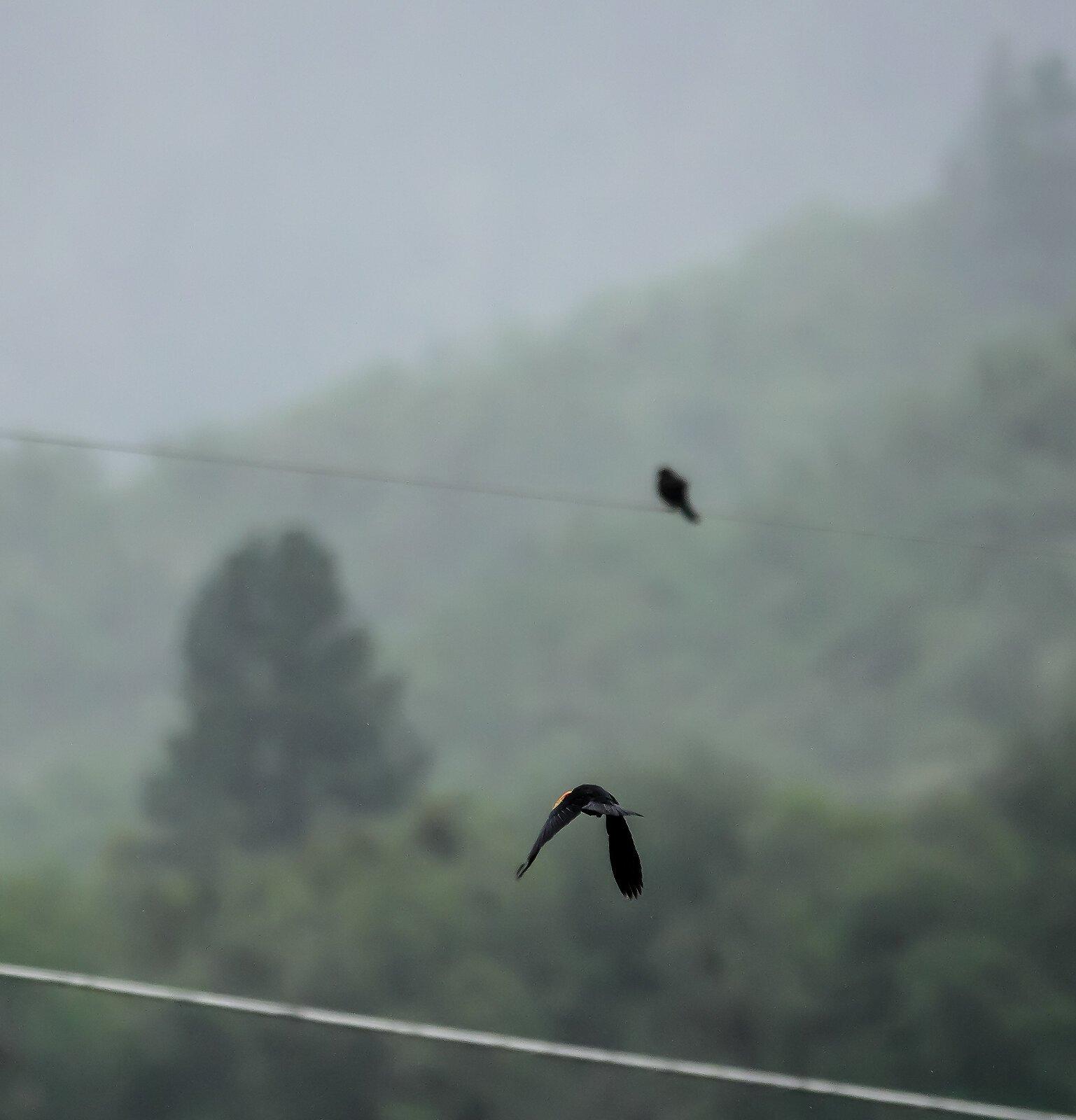 RX10_Apr24_21_blackbird_flying#7.jpg