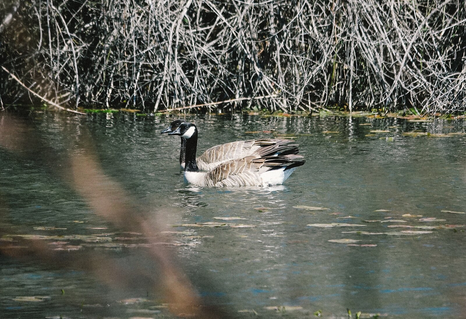 RX10_Apr9_21_Canada_geese_swimming.jpg