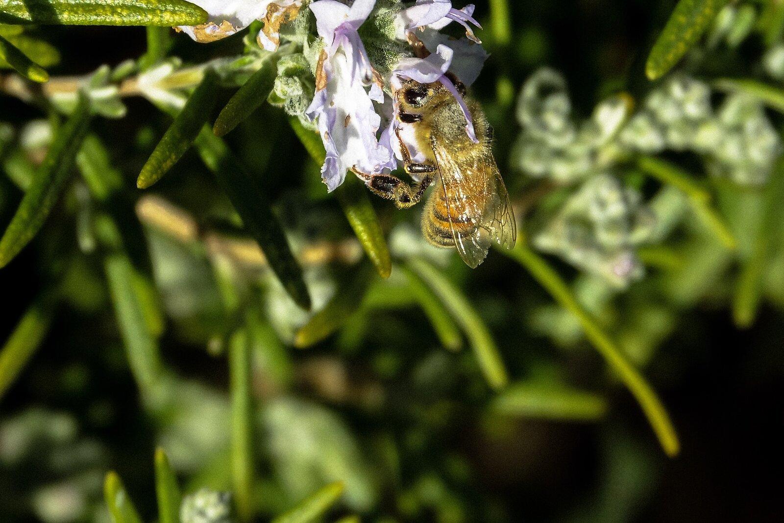 RX10_Apr9_21_flowering_bee#2.jpg