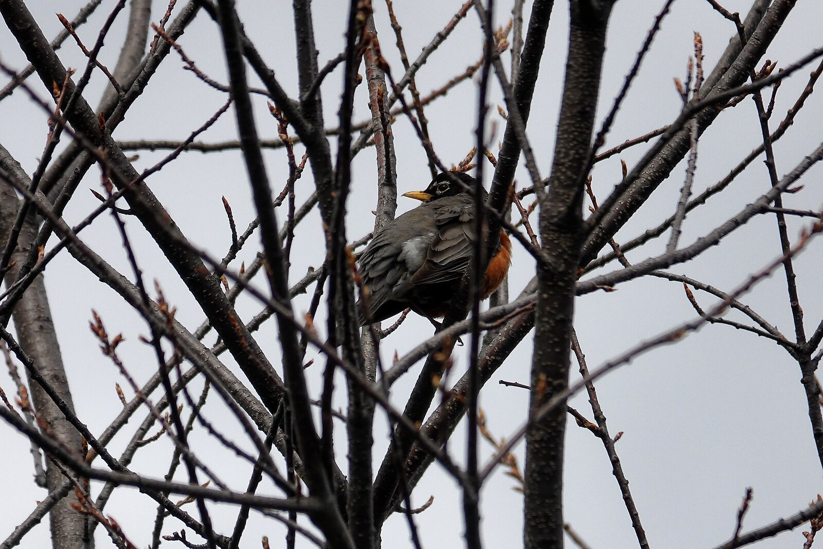 RX10_Mar21_21_Robin_in_tree.jpg