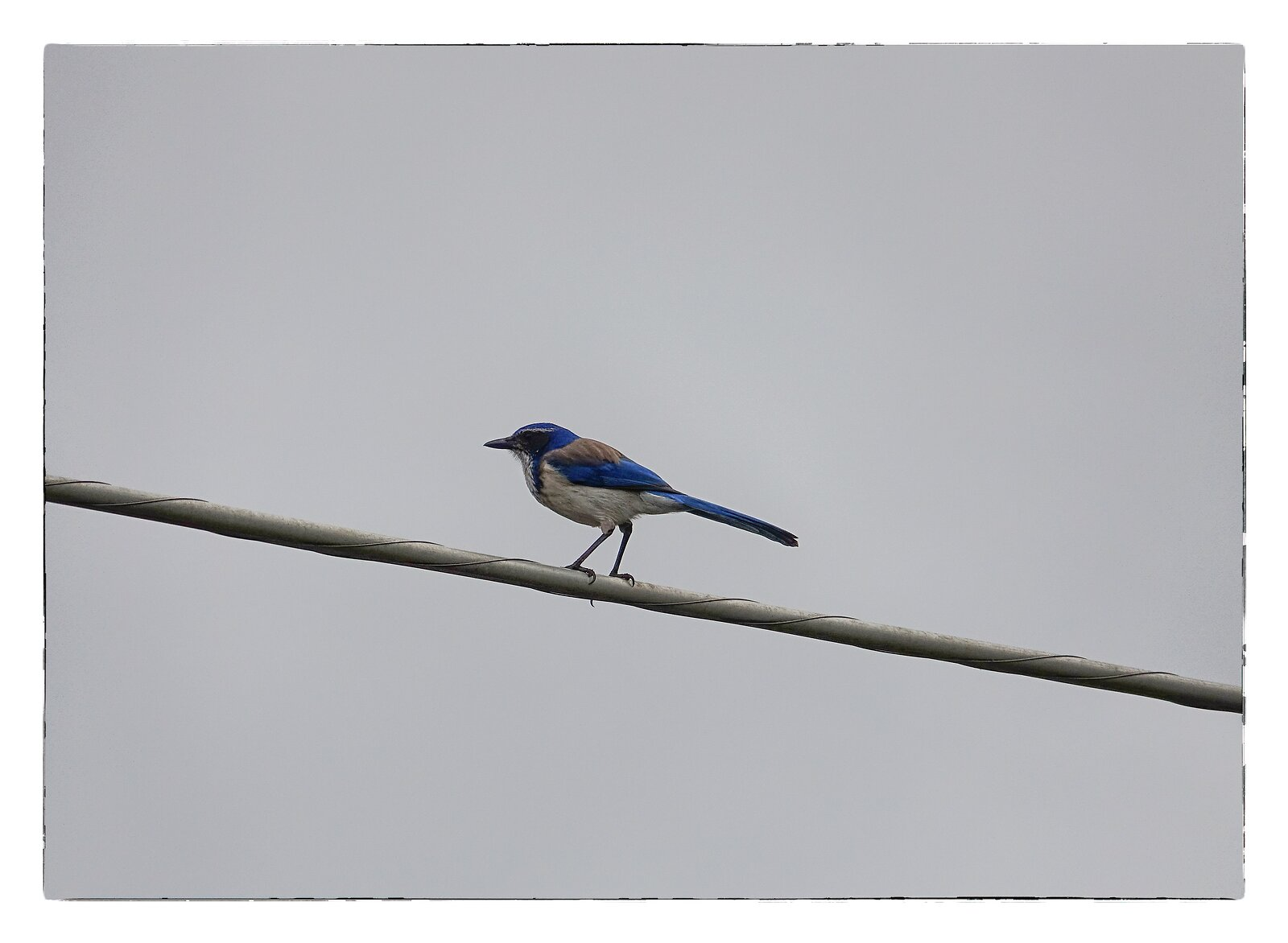 RX10_Mar22_21_blue_jay_on_telephone_wire.jpg