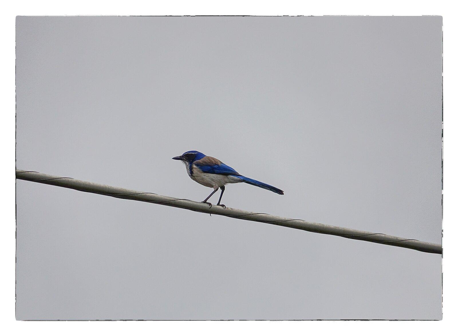 RX10_Mar22_21_blue_jay_on_telephone_wire.jpg
