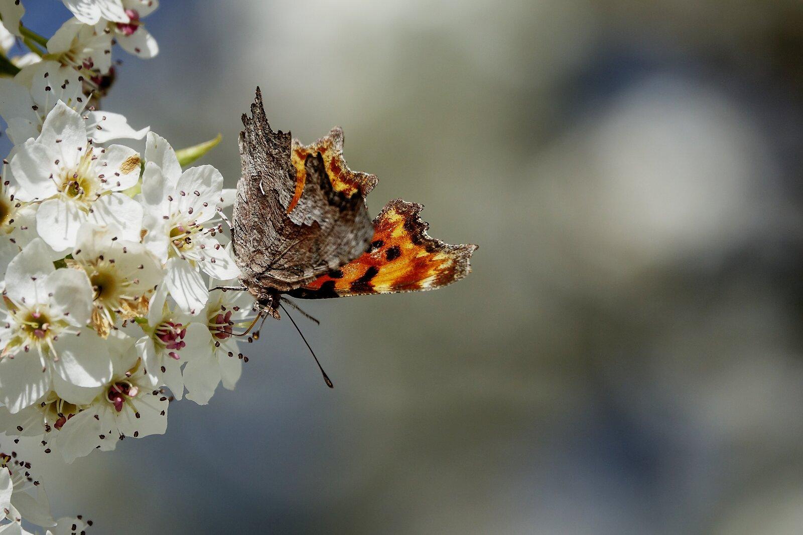 RX10_Mar31_21_Lustrous_copper_butterfly.jpg