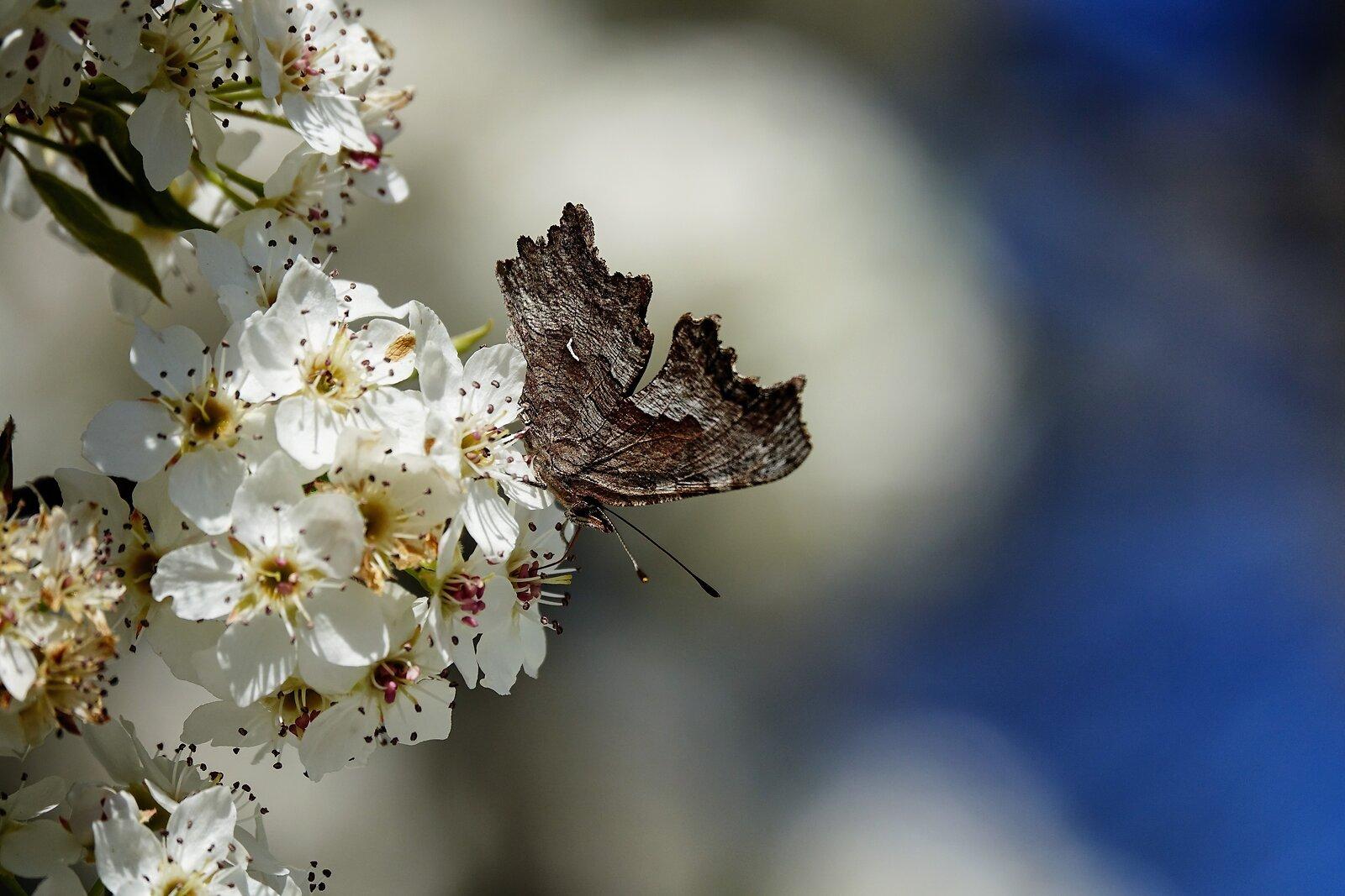RX10_Mar31_21_Lustrous_copper_butterfly(wngs_clsd).jpg
