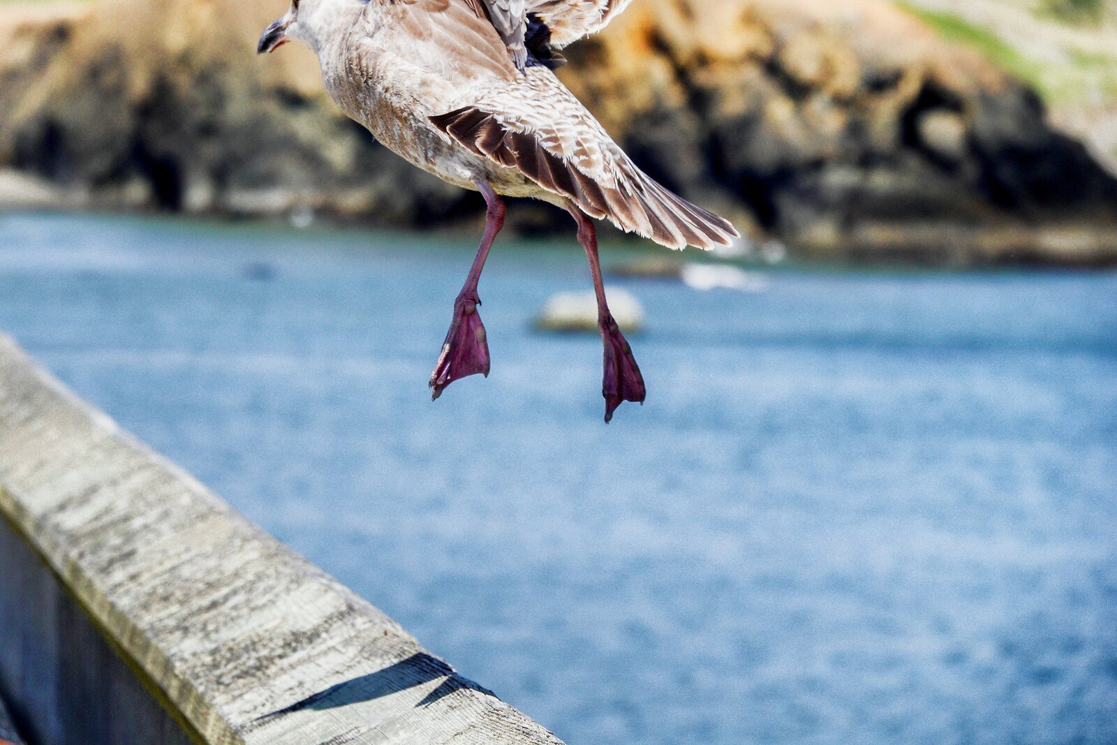 RX10_May18_21_Seagull_flying.jpg