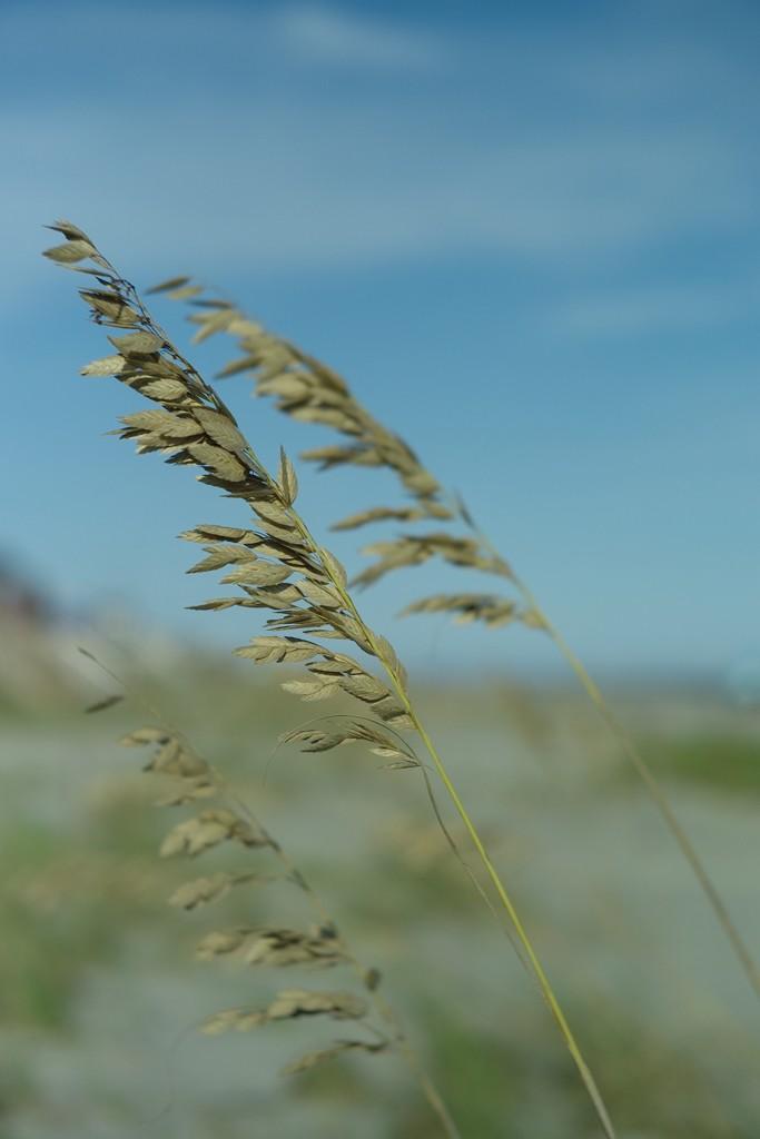 sea_oats.jpg