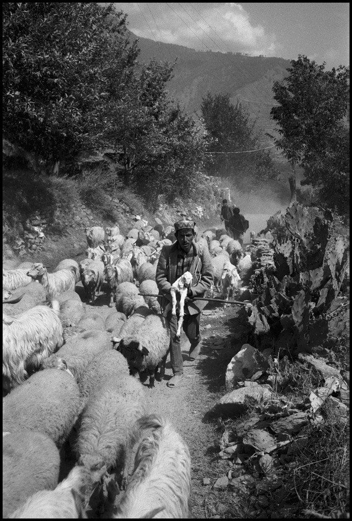 Sheep_flock.jpg