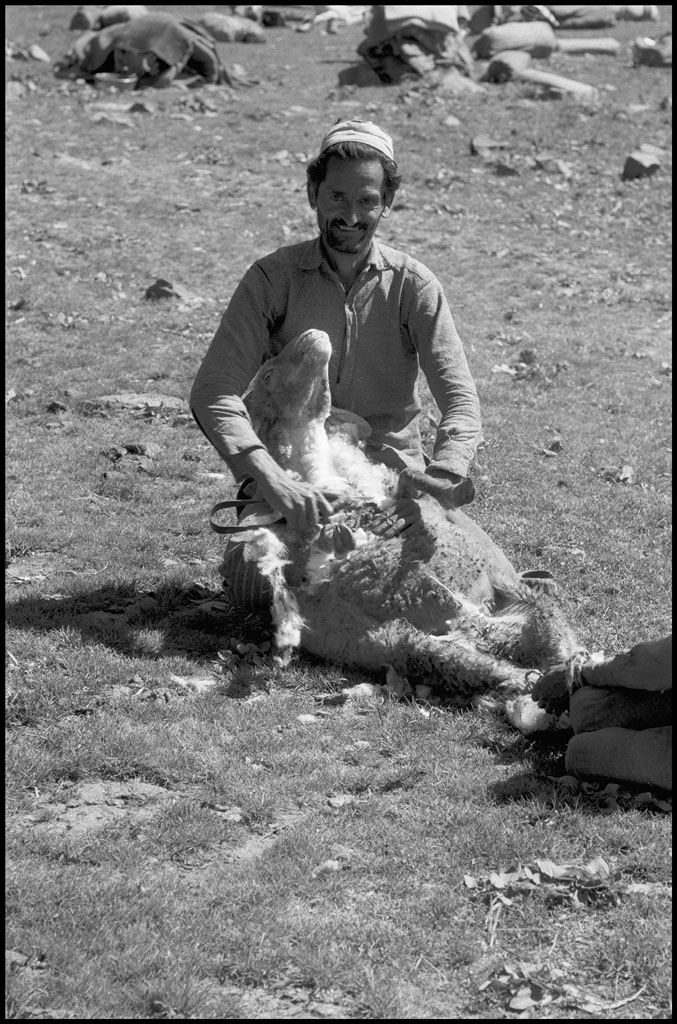 sheep_shearing1.jpg