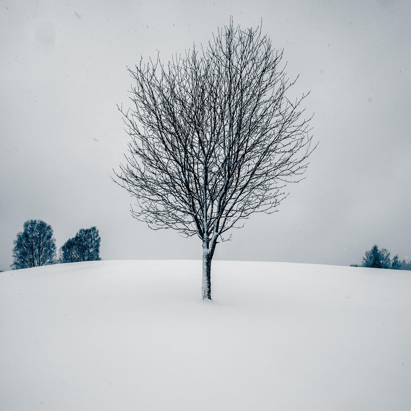 snow tree001.jpg
