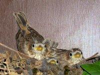 Sparrow15b_s.jpg