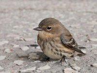 Sparrow48_s.jpg