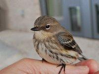 Sparrow49_s.jpg