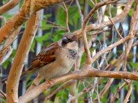 Sparrow50_s.jpg