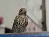 Sparrow53_s.jpg