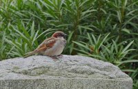 Sparrow54_s.jpg