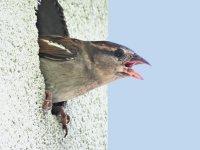 Sparrow55_s.jpg