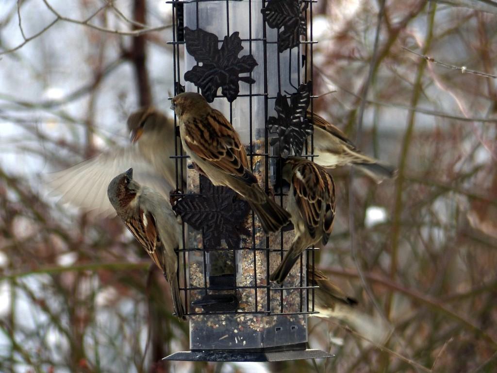Sparrow_mob_FZ200_012-001_Medium_.JPG