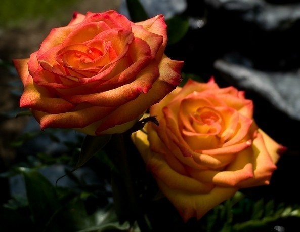 Spring Rose (1 of 1)web size.jpg
