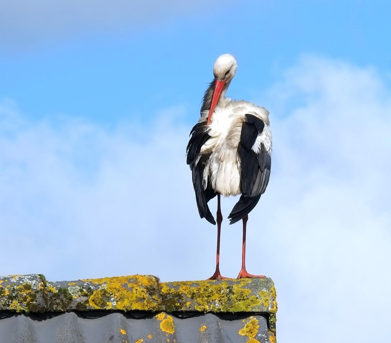 Stork-1.jpg