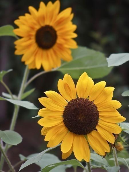 sunflowers3-L.jpg