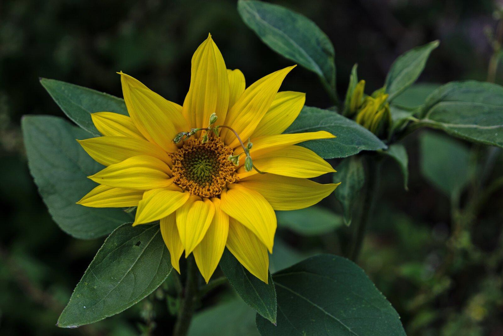 Topi Blume.jpg