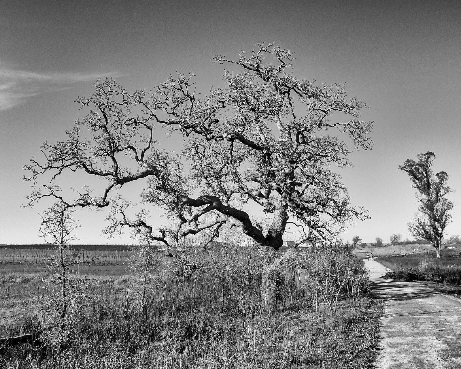 tree_FujXQ1_Feb21_BW.jpg