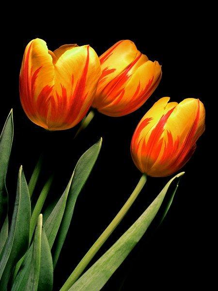 tulips2017-L.jpg