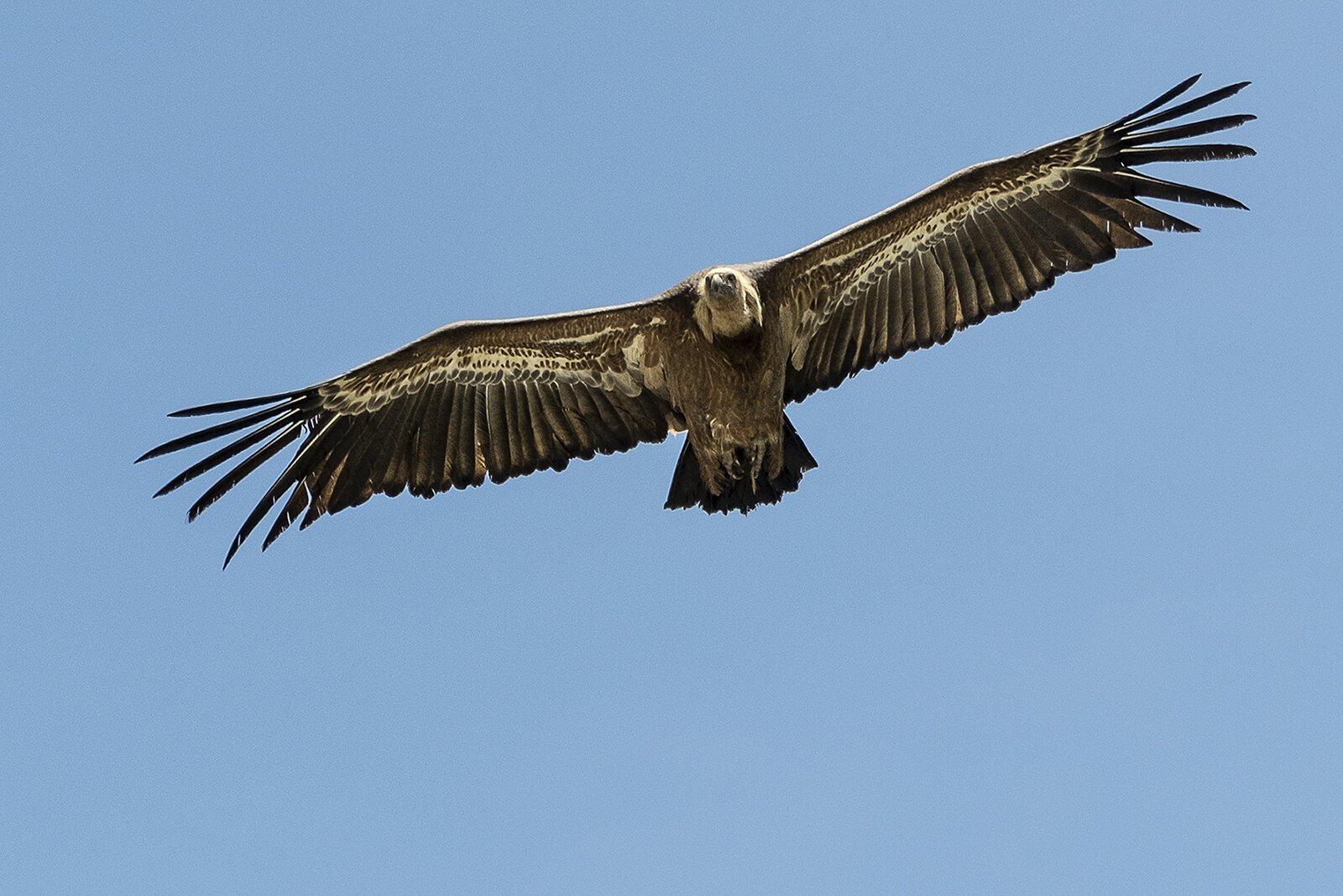 Vulture in Flight.jpg