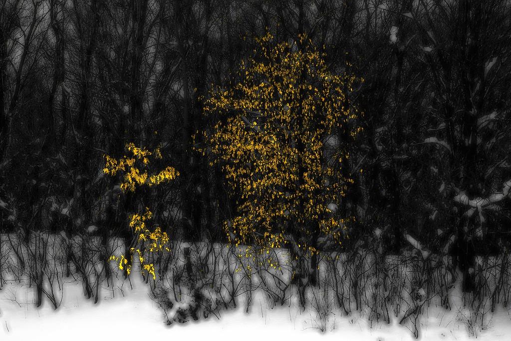 Winter%20Gold-XL.jpg