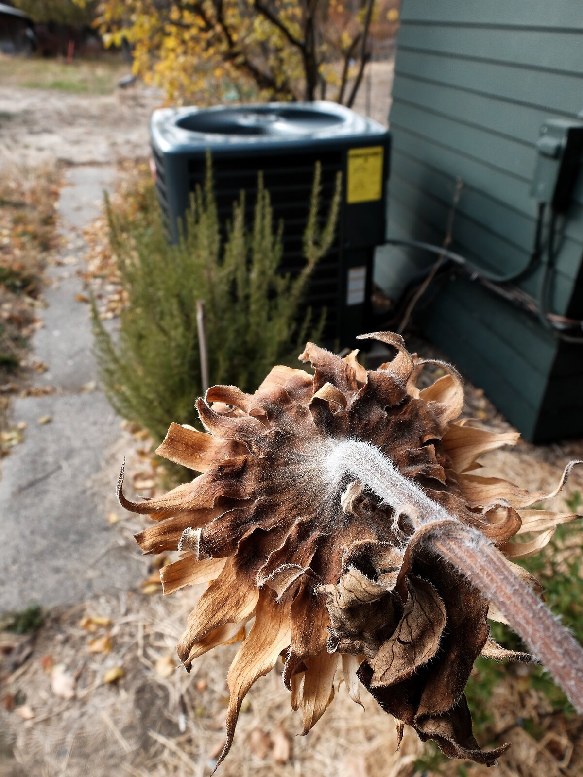 X30_Nov12_Dead_sunflower.jpg