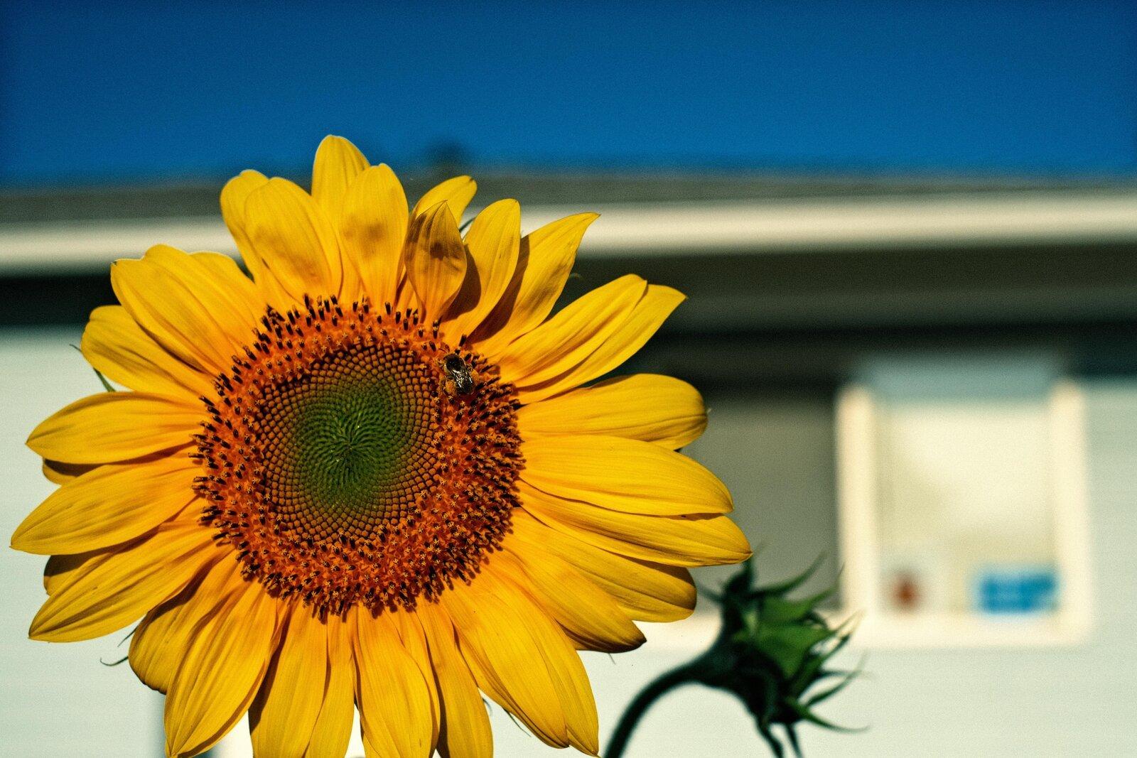 XPro3_Aug31_21_morning_Sunflower.jpg