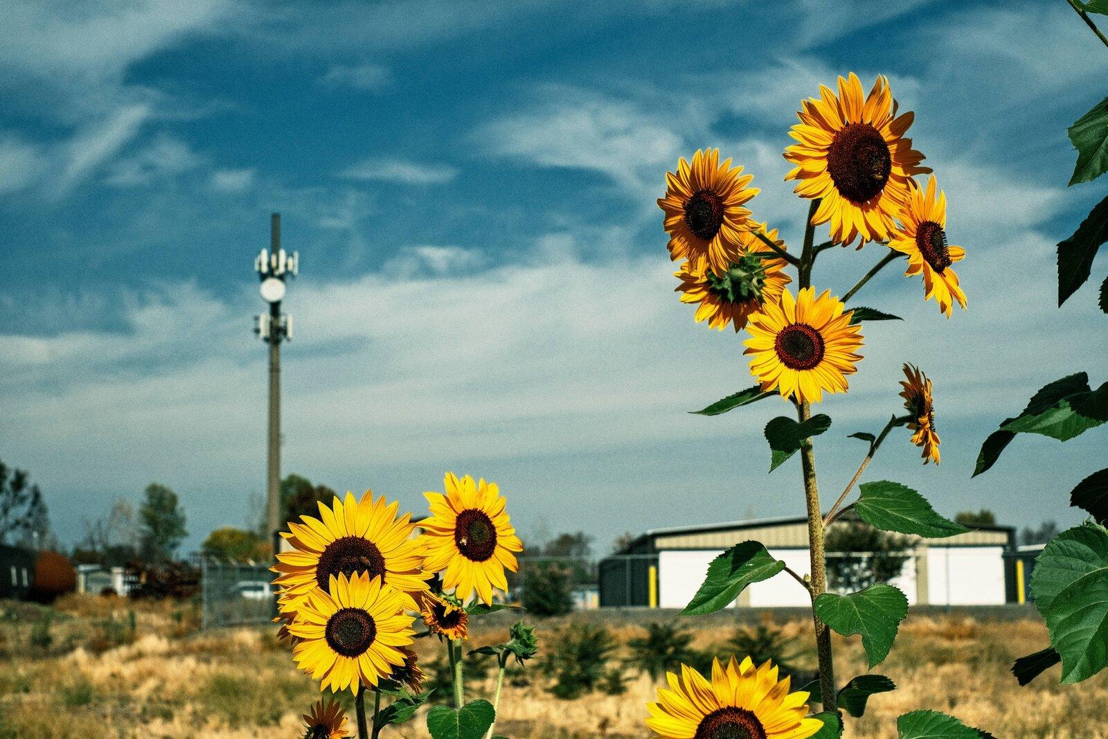 XPro3_Sept13_21_sunflowers+cellphone_tower.jpg