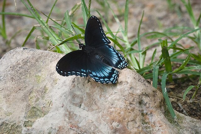 Butterflies - Early August to Mid November brings a substantial increase in the number of butterflies in our area of the southern US. A few from last weekend.  Eastern Tiger Swallowtail    Spicebush Swallowtail    A Pipevine