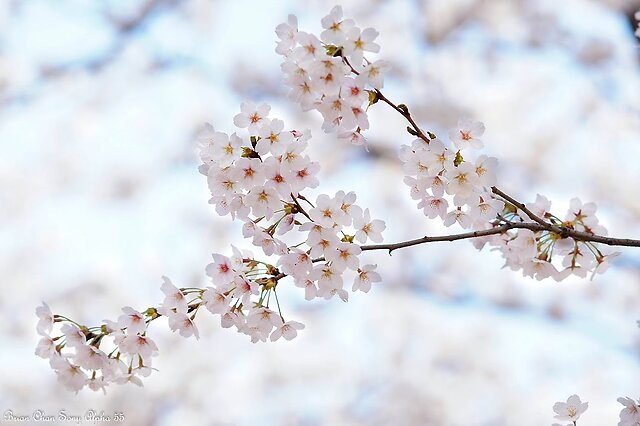 Sakura in Hokkaido, Japan - Sakura in Hokkaido, Japan