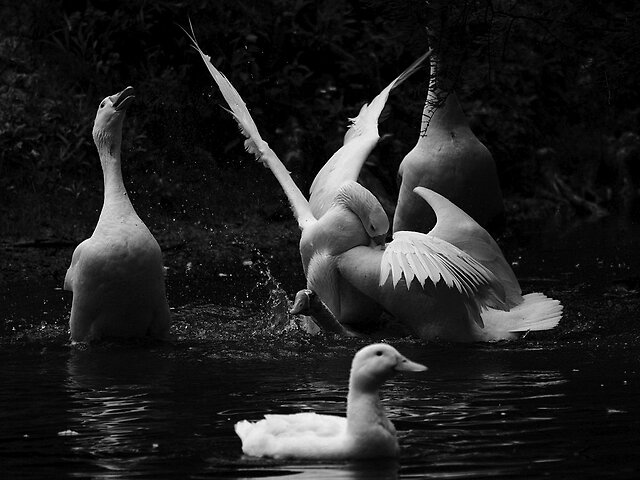B&W: Words/No Words - Goose Business