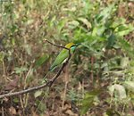 Green Beeater-2.jpg