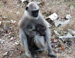 Langur and baby Mudumalai.jpg