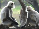 Langurs at Nagarahole.jpg