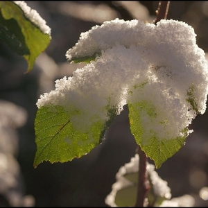 bramble leaves with snow cover