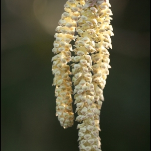 The Willow catkins are opening