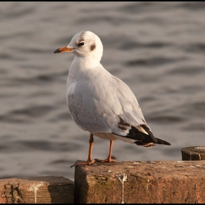 1st summer Black-headed Gull