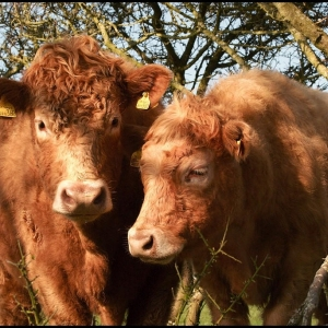 Inquisitive bullocks