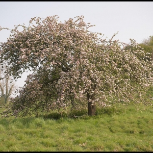 old Cider apple tree in East Charleton
