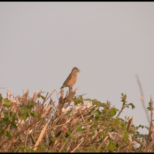 female Linnet with nest material