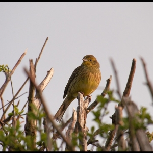 female Yellowhammer