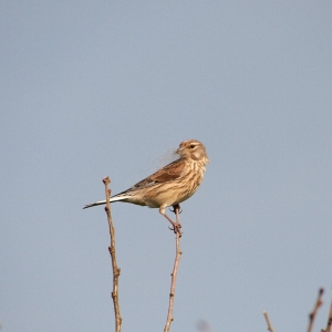 female Linnet with nest lining material